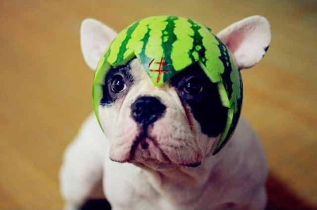 Cascara de sandía como sombrero en la cabeza de un perro